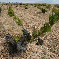 The vines in Rueda, Spain